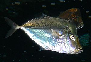A Threadfin Lookdown