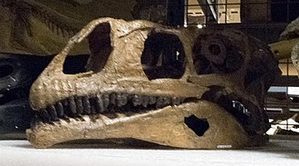 Plateosaurus - Skull cast of P. gracilis