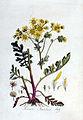 Senecio jacobaea — Flora Batava — Volume v3.jpg
