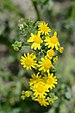 Eastern Groundsel - Photo (c) Radio Tonreg, some rights reserved (CC BY)