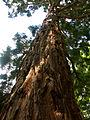Sequoia géant - Arboretum Angers.jpg