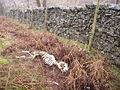 Sheep Skeleton - geograph.org.uk - 346775.jpg