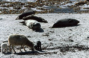 North Ronaldsay sheep - A North Ronaldsay sheep with twin lambs on the beach, with seals in the background