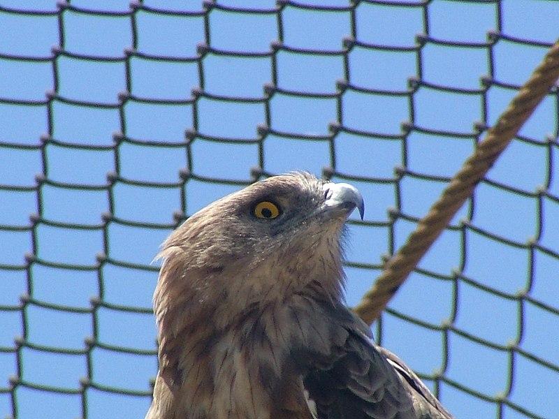 File:Short-toed Eagle 02.jpg