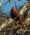Shy State Bird (5263811562).jpg