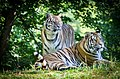 Siberian Tigers Once More (53851584).jpeg
