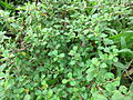Sida Rhombifolia - കുറുന്തോട്ടി 01.JPG