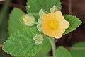 Sida cordifolia02a.jpg