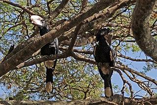 Silvery-cheeked hornbill species of bird