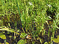 Sium latifolium 2009 07160016.jpg