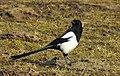 Skata Common Magpie (31964095365).jpg