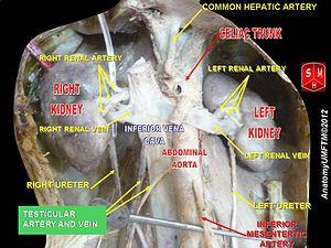 Testicular vein - Image: Slide 6jj