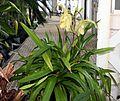 Slipper Orchid foliage.jpg