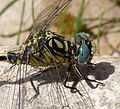 Small Pincertail...head detail. Onychogomphus forcipatus - Flickr - gailhampshire.jpg