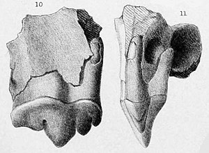 Smilodon - 1869 lithograph of the holotype molar and maxilla fragment of S. fatalis