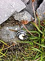 Snail on Inishmore (6030586881).jpg