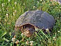 Snapping turtle (11713815364).jpg