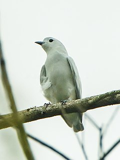 Snowy cotinga species of bird