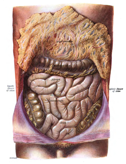 Aparato digestivo - Wikiwand