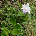Sobralia sp 2a Costa Rica.jpg
