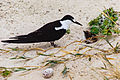 Sooty Tern (Onychoprion fuscata).jpg