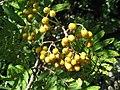 Sorbus aucuparia fruit 01 by Line1.jpg