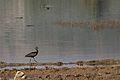 Souss- Massa NP Threskiornithidae 0007.jpg