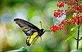 Southern Birdwing-Chamakkav-DSC 0204.jpg