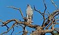 Southern Pale Chanting Goshawk (Melierax canorus) (6491915933).jpg