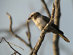 Southern White-crowned Shrike, Etosha National Park, Namibia.jpg