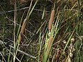 Southern cattail, Typha domingensis (38565688400).jpg
