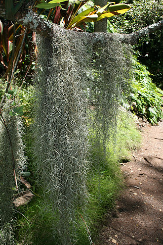 Spanish moss - Image: Spanish moss at the Mcbryde Garden in hawaii
