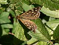 Speckled Wood Butterfly on Rowlands Castle Road - geograph.org.uk - 1434212.jpg