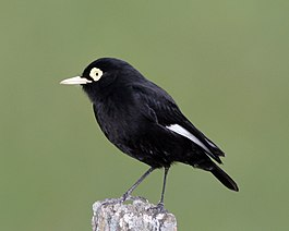 Spectacled Tyrant (Hymenops perspicillatus) - Flickr - Lip Kee (1).jpg