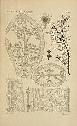 Spencerella australis.jpg