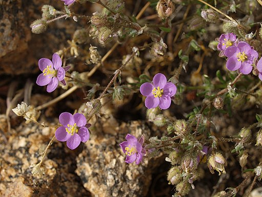 Spergularia-rubra-20090409b