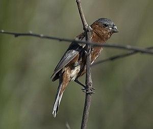 Southern South American Migratory Grassland Bird Species Memorandum of Understanding - Image: Sporophila cinnamomea CAPUCHINO CORONA GRIS