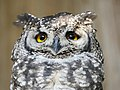 Spotted Eagle-Owl (42940835810).jpg