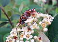 Spotted flower chafer.jpg