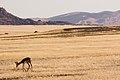 Springbok (3688091782).jpg