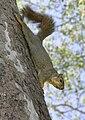 SquirrelRed.jpg