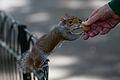 Squirrel (14918825661).jpg