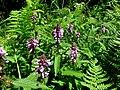 Stachys palustris, Korczyna 05.jpg