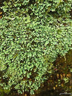 240px stalkless cladonia (4503936771)