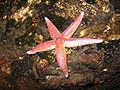 Starfish - Herøy Norway.jpg