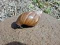 Starr-010310-0556-Sida fallax-giant African snail-West Maui-Maui (24532043225).jpg