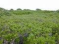 Starr-010520-0077-Scaevola taccada-habit-Inland-Kure Atoll (24237222210).jpg