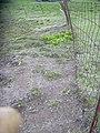 Starr-040514-0115-Cynodon dactylon-after hand weeding-Puhilele HNP-Maui (24608966981).jpg