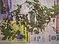 Starr-050427-0752-Solanum americanum-voucher 050406 3-Alau-Maui (24629522932).jpg
