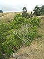 Starr-050816-3663-Opuntia ficus indica-with koas-Waiale Gulch-Maui (24173791194).jpg